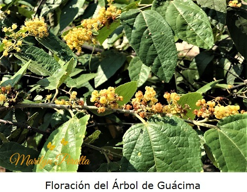 Floracion del arbol de Guacima