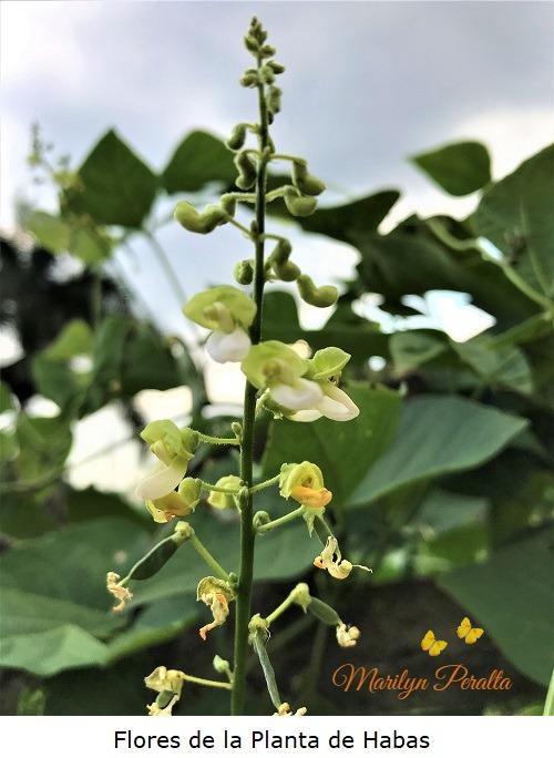 Flores de la Planta de Habas