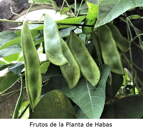 Frutos de la Planta de Habas