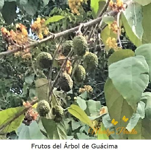 Frutos del arbol de Guacima