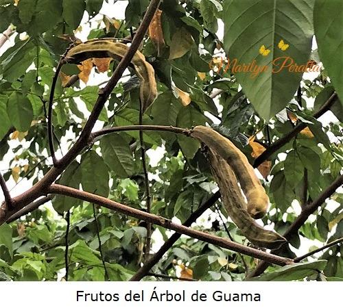 Frutos del Arbol de Guama