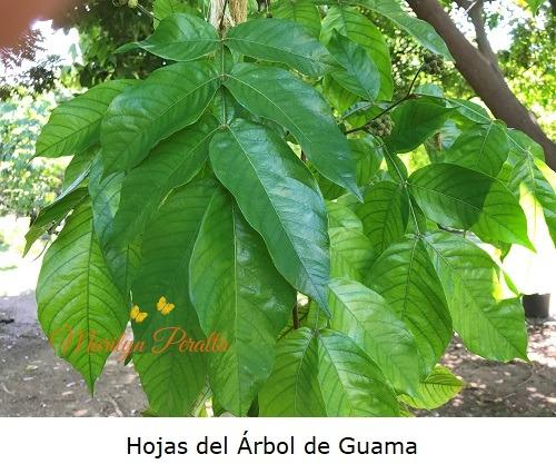 Hojas del Arbol de Guama