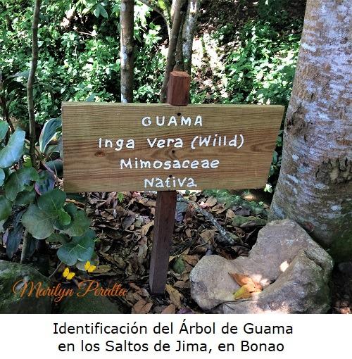Identificación del Arbol de Guama en Los Saltos de Jima, Bonao