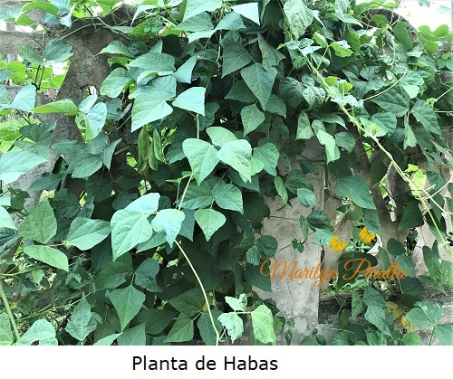 Planta de Habas