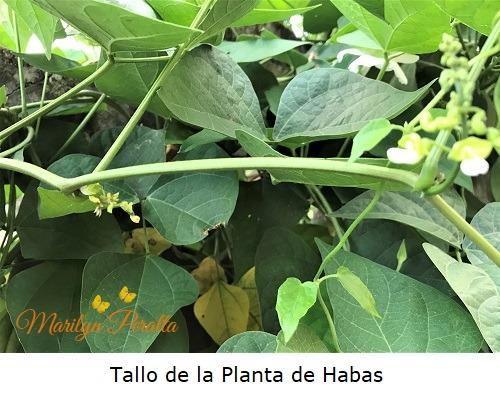 Tallo de la Planta de Habas