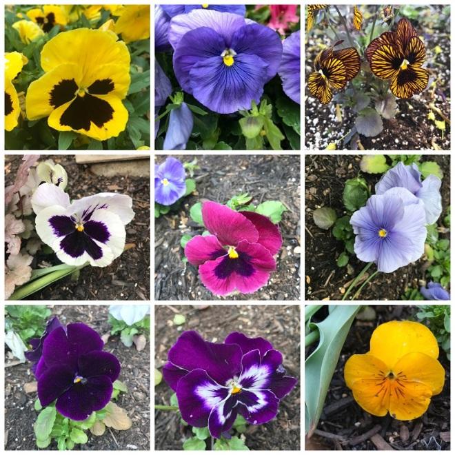 Toronto Island Park, Lago Ontario, Flores de Pensamiento