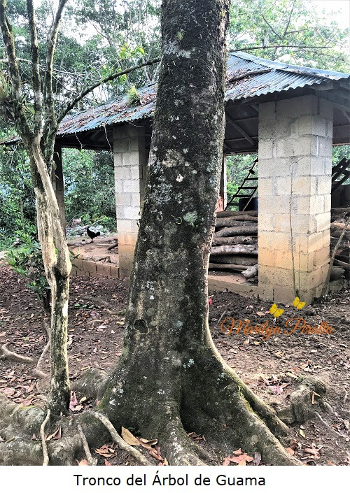 Tronco del Arbol de Guama