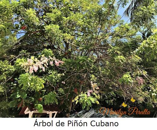 Arbol de Piñon Cubano