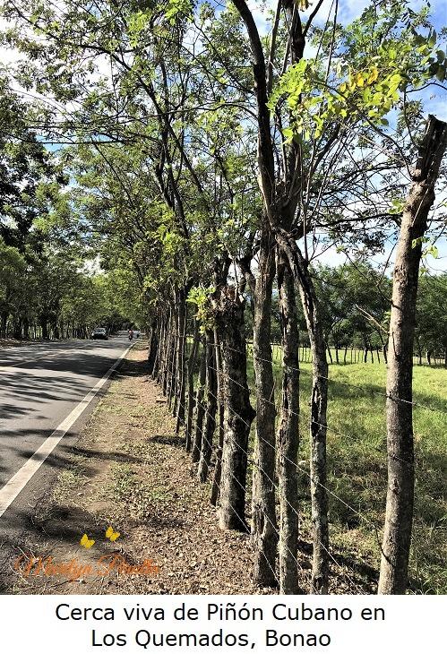 Cerca viva de Piñon Cubano en Los Quemados, Bonao