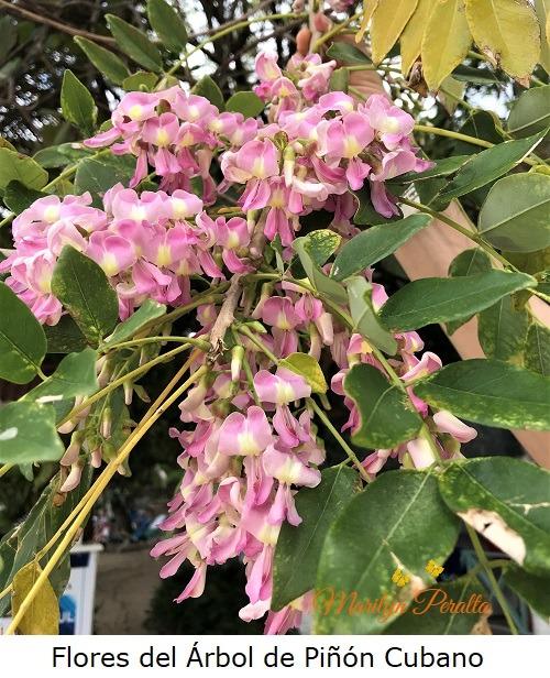 Flores del Arbol de Piñon Cubano