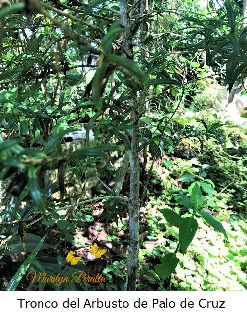 Tronco del Arbusto de Palo de Cruz