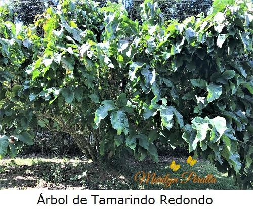 Arbol de Tamarindo Redondo