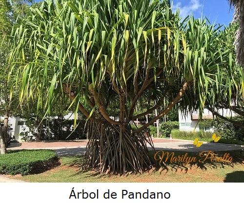 Arboles de Pandano