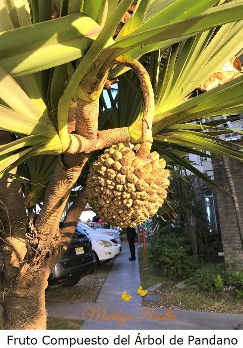 Fruto del Arbol de Pandano