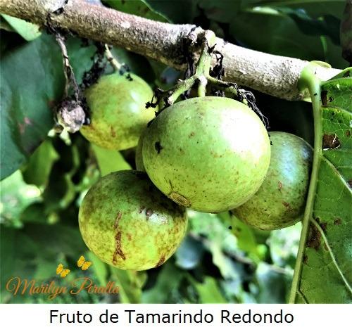 Fruto del Tamarindo Redondo