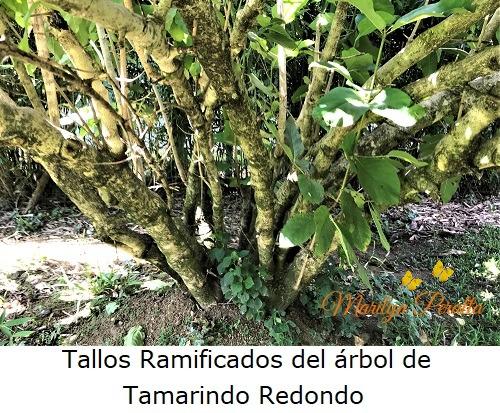 Tallos ramificados del Tamarindo Redondo