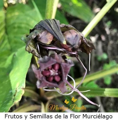 Frutos y semillas de la Planta de Flor Murcielago