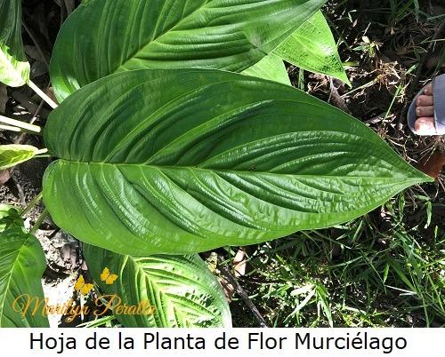 Hoja de la Planta de Flor Murcielago