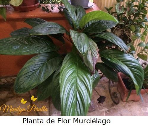 Planta de Flor Murciélago