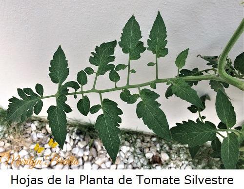 Hojas de la Planta de Tomates Silvestres