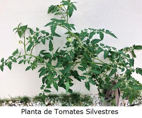 Planta de Tomates Silvestres