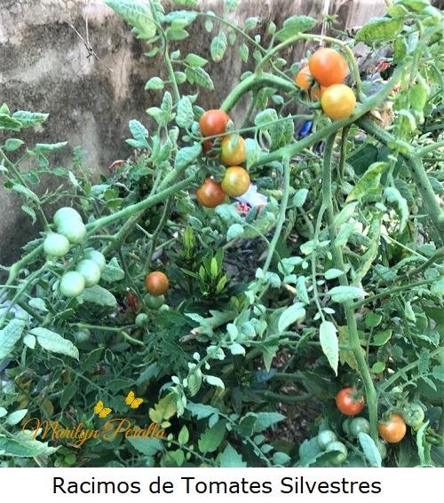 Racimos de Tomates Silvestres