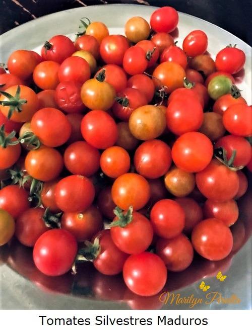 Tomates Silvestres maduros
