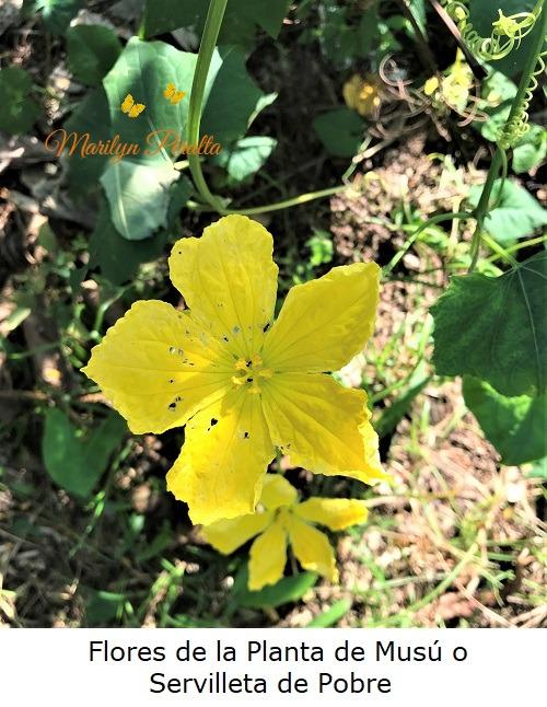 Flores de la planta de Musu o Servilleta de Pobre