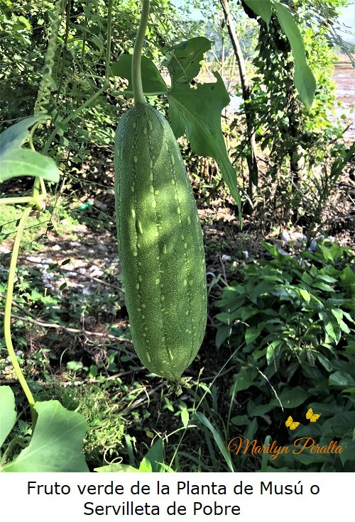 Fruto verde de Musú o Servilleta de Pobre