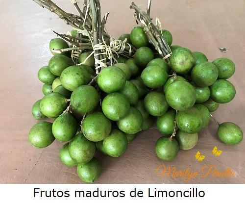 Frutos maduros del arbol de Limoncillo
