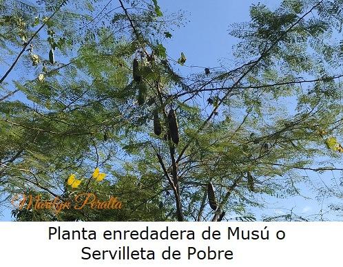 Planta Enredadera de Musú o Servilleta de Pobre