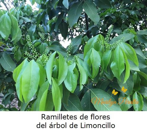 Ramilletes de flores del arbol de Limoncillo