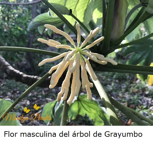 This image has an empty alt attribute; its file name is flor-masculina-del-arbol-de-grayumbo.jpg