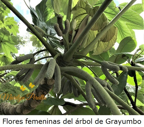 This image has an empty alt attribute; its file name is flores-femeninas-del-arbol-de-grayumbo.jpg